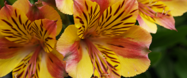 Peruvian Lily.png